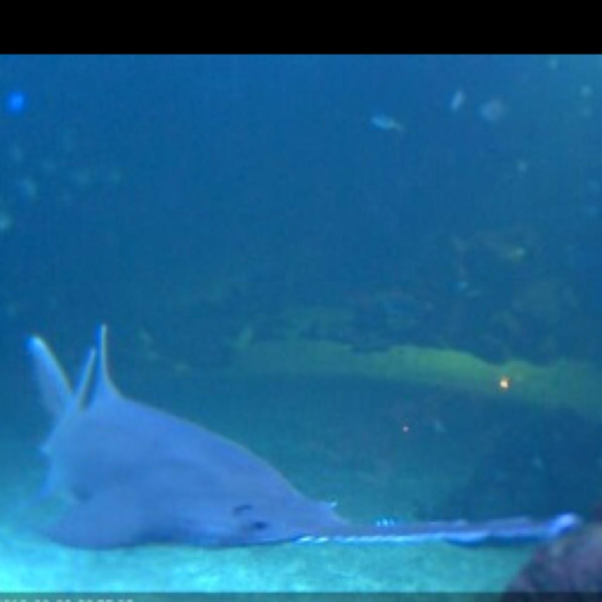 long nose saw shark project noah