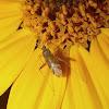 Mirid Bug feeding on a Flower