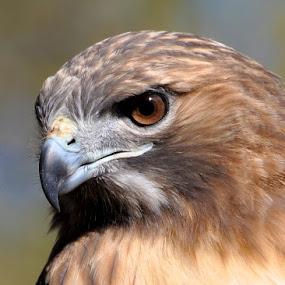 Watching and Waiting  by Betty Arnold - Animals Birds ( bird, bird of prey, red tailed hawk, wildlife, hawk, animal, , Redtal Hawk, Redtail Hawk contest )