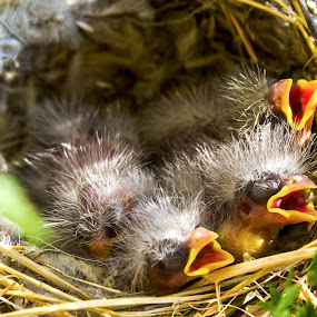Hungry by Chip Ormsby - Animals Birds ( bird, michigan, fuzzy, food, nest, tired, three, sleeping, baby, hungry,  )