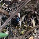 small black beetle