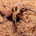 Philippine cave tarantula