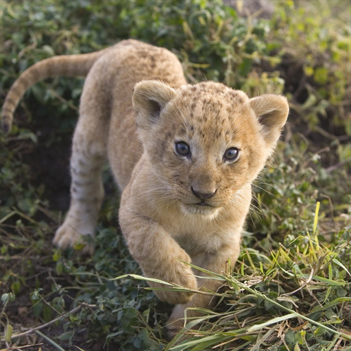 Small Lion