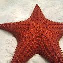 Red cushion sea star