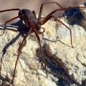Mediterranean Recluse Spider
