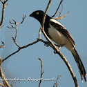 Frutero overo (Magpie tanager)