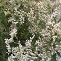 Late flowering boneset or late flowering thoroughwort