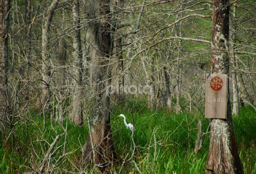 Great Egret Spirit Messenger Forests Landscapes Pixoto