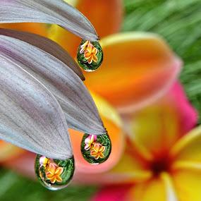 by Margie MacPherson - Nature Up Close Natural Waterdrops ( plumeria, macro, water drops, daisy petals,  )