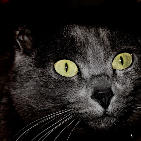 Munchkin by Victor Queiroz - Animals - Cats Portraits