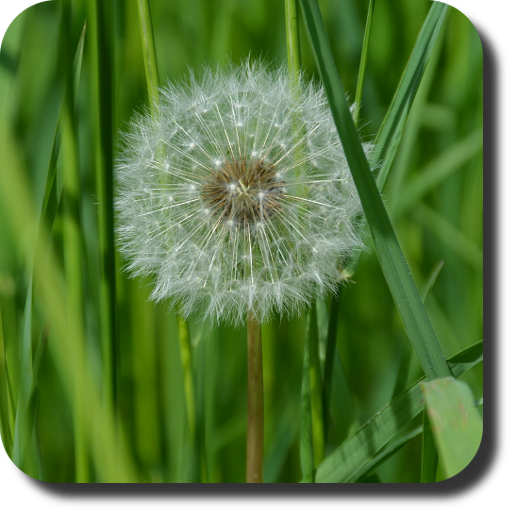 Dandelion Live Wallpaper ★ 個人化 App LOGO-APP試玩