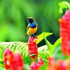 Sunbird