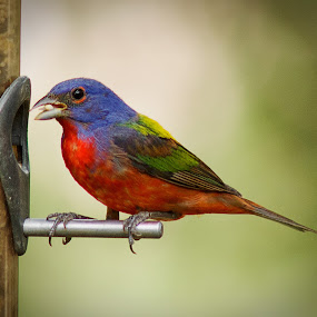 by April Nowling - Animals Birds ( bird, painted bunting, nature, texas, wildlife,  )