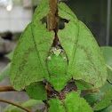 Gray's Leaf Insect