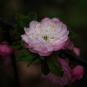 Pretty in Pink by Liz Crono - Flowers Tree Blossoms ( tree blossoms, pink )