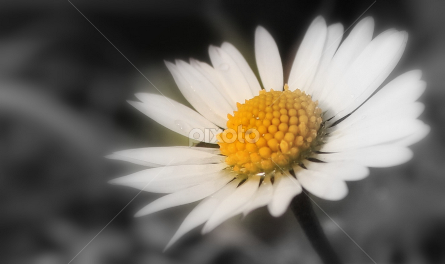 Cool Daisy by Carol Hynes - Flowers Single Flower (  )