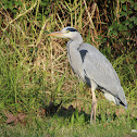Grey Heron (Garça-real)