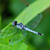 Little Blue Dragonlet Dragonfly (male)