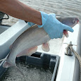 Blue Catfish Watch Chesapeake Bay