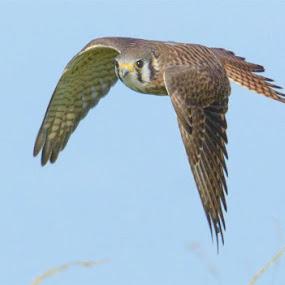 Kestrel by Rich Eginton - Animals Birds ( blue sky, grass, eye contact, kestrel, in flight,  )
