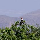 Woodchat shrike (Κοκκινοκεφαλάς)