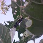 Monarch Butterfly Caterpillar (Hawaiian)