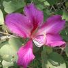 pohon daun kupu-kupu