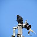 Verreaux's (Black) Eagle