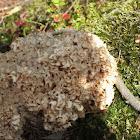 Wood cauliflower