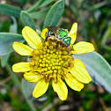Green Jewel Bee