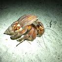 Hermit Crab / Baraveli / Einsiedlerkrebs