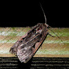 Greater Black Letter Dart Moth