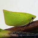 Siphanta Flatid Planthopper