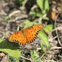 Gulf Fritterly Butterfly