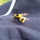 Hover fly (bumblebee mimic)
