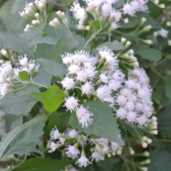 Fragrant mist flower shrubby boneset eupatorium boneset description mistflower mightylinksfo