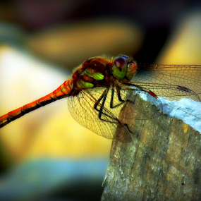 Dragon Fly by Chris Brian Hollingworth - Animals Insects & Spiders