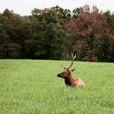 Rocky Mountian Elk