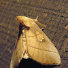 White dotted prominent moth