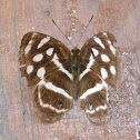 Butterfly - Four-spotted Sailor