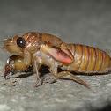 Cicadetta or Yoyetta pre-moult?