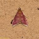 Raspberry Pyrausta Moth