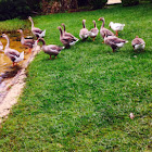 Chinese Geese  and Graylag Geese