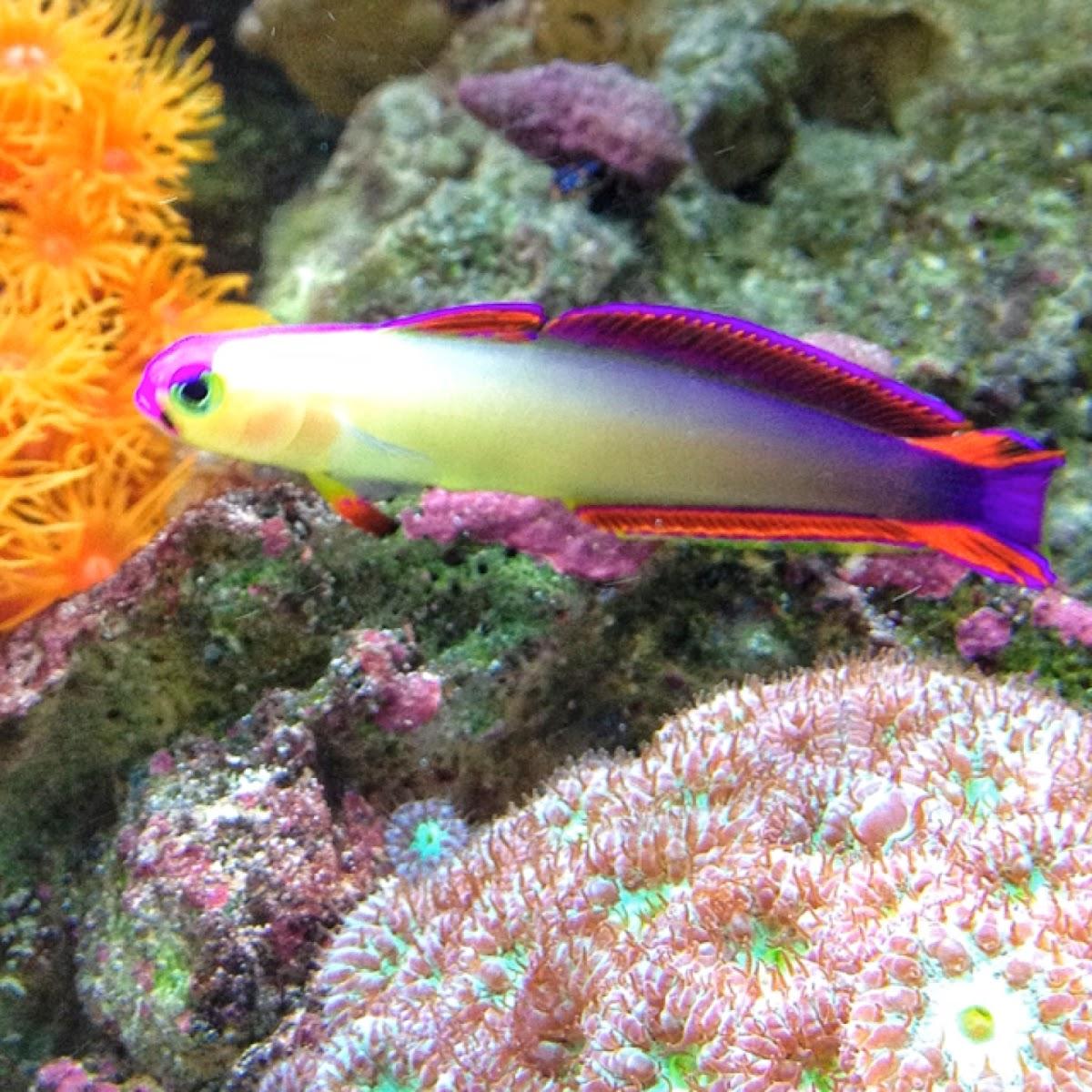 Purple Firefish | Purple Firefish Project Noah