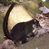 Nasenbär/White-nosed Coati