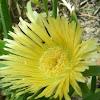 Iceplant (yellow)