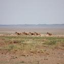 Mongolian Khulan/Wild Ass