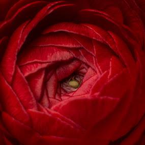 Blood Red Rose by Raymond Umlas - Flowers Single Flower ( rose, macro, red, valentine, flower )
