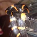 Snail eating snake