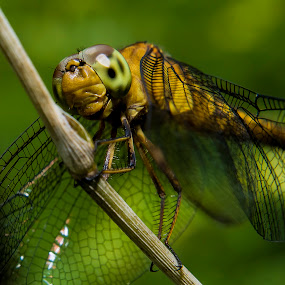 LANDING by Ismail Rali - Animals Insects & Spiders ( animals, fauna, flora, dragonfly, insects )
